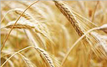 wheat_img
